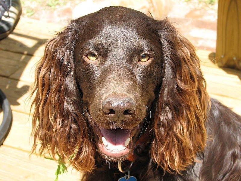 Морда собаки породы Бойкин-спаниель