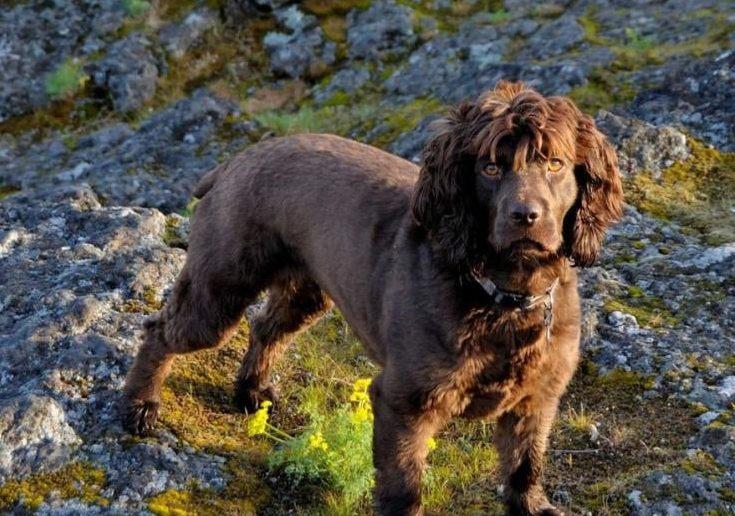 Внешний вид собаки Бойкин-спаниель