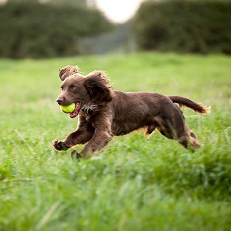 Собака породы Бойкин-спаниель на охоте