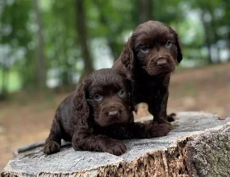 На фотографии два щенка породы Бойкин-спаниель