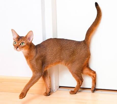 Фото породы Абиссинская кошка