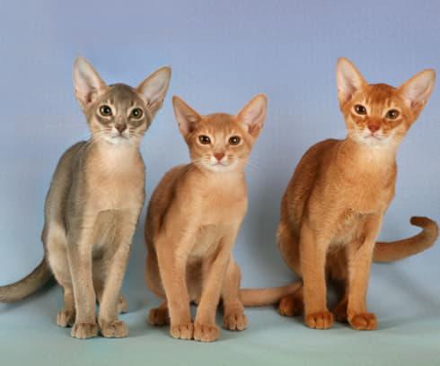 Фотография кошек породы Абиссинская кошка