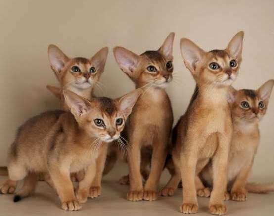 Фото котят породы Абиссинская кошка