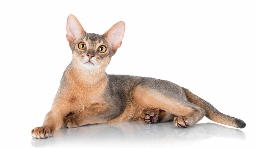 Голубая Абиссинская кошка
