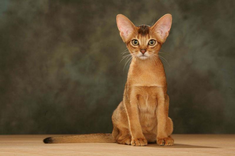 Фотография Абиссинская кошка