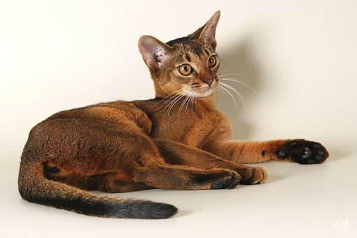 Абиссинская кошка окраса дикий