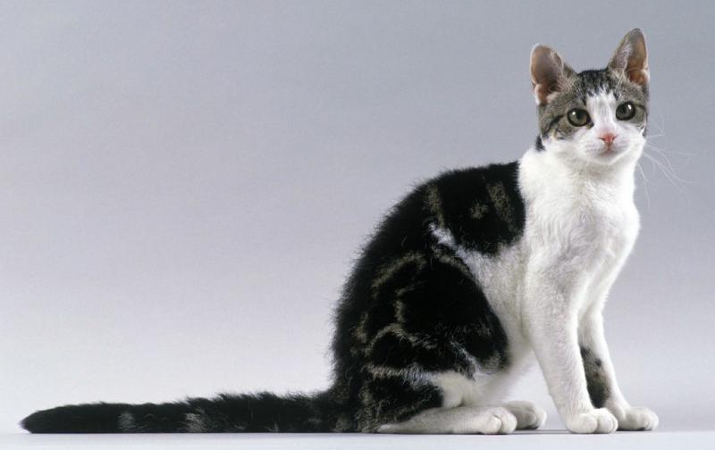 Фотография Американская жесткошерстная кошка