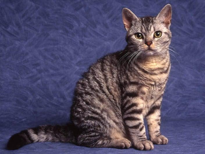 Фото Американская жесткошерстная кошка