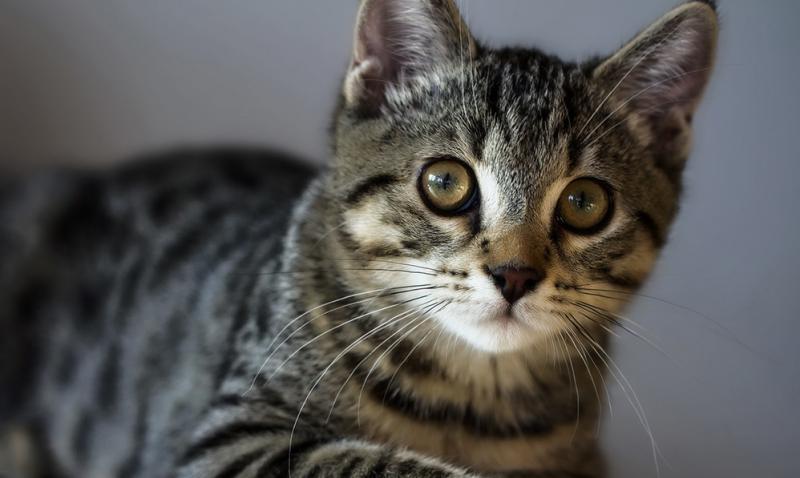 Глаза Американской жесткошерстной кошки