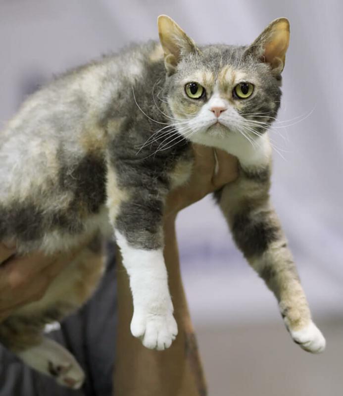 Трехцветная Американская жесткошерстная кошка