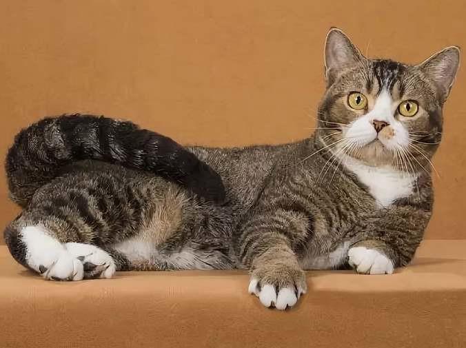 Внешний вид Американская жесткошерстная кошка