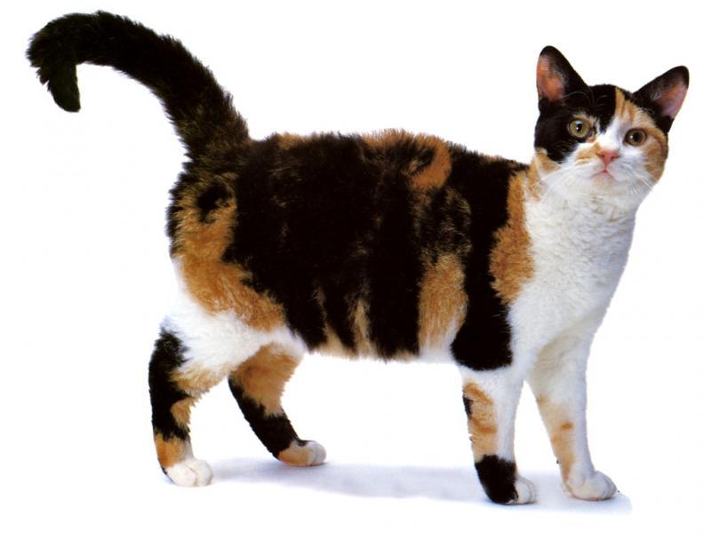 Шерсть Американской жесткошерстной кошки