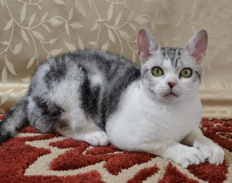 Фотография кошки породы Американская жесткошерстная кошка