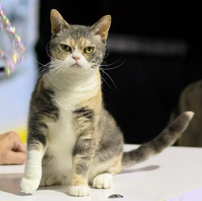 Фото кошки породы Американская жесткошерстная кошка