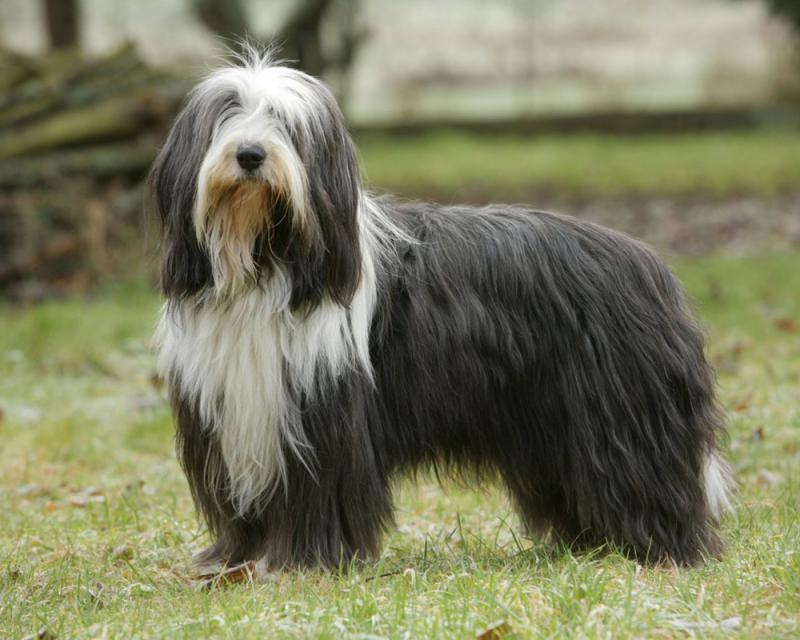 Фото собаки породы Бородатый колли