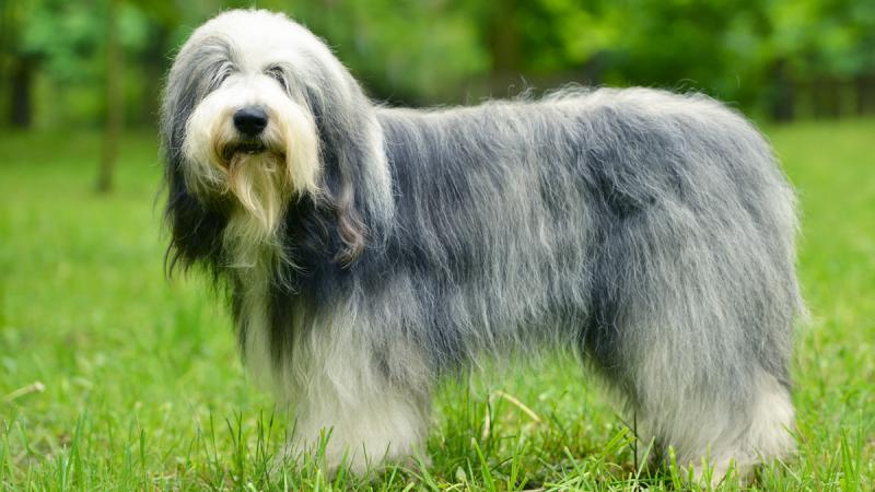 Фотография собаки породы Бородатый колли