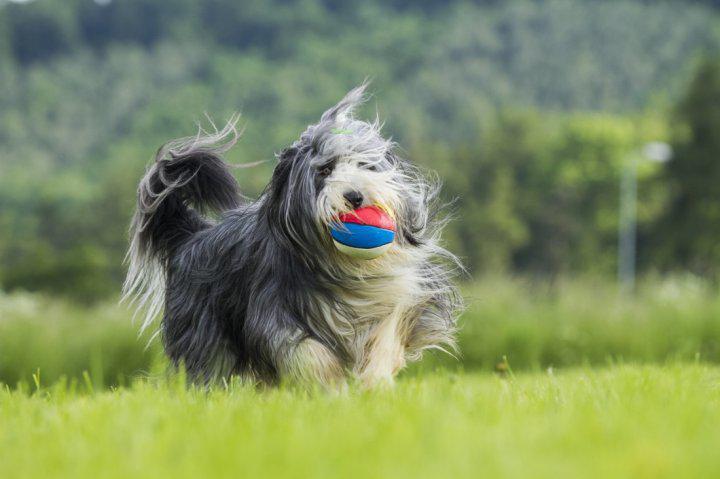 Бородатый колли с мячом