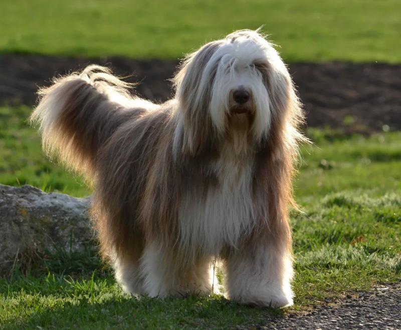 Внешний вид собаки породы Бородатый колли