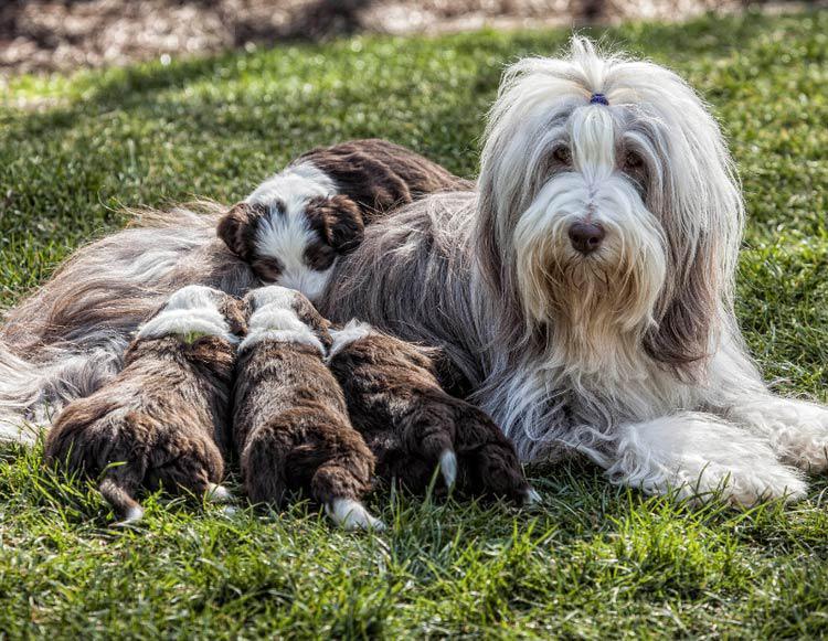 Щенки собаки породы Бородатый колли