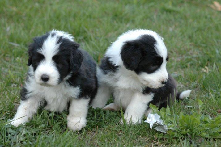 Два щенка породы Бородатый колли