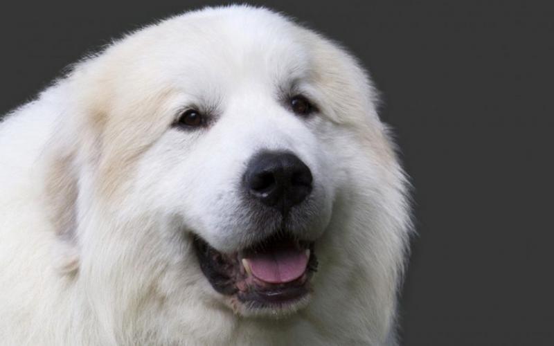 Голова собаки породы Пиренейская горная собака (Большая пиренейская овчарка)