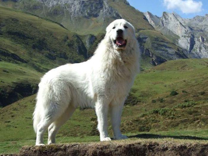 Собака породы Пиренейская горная собака (Большая пиренейская овчарка)