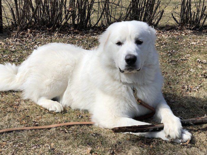Фото собаки породы Большая пиренейская овчарка