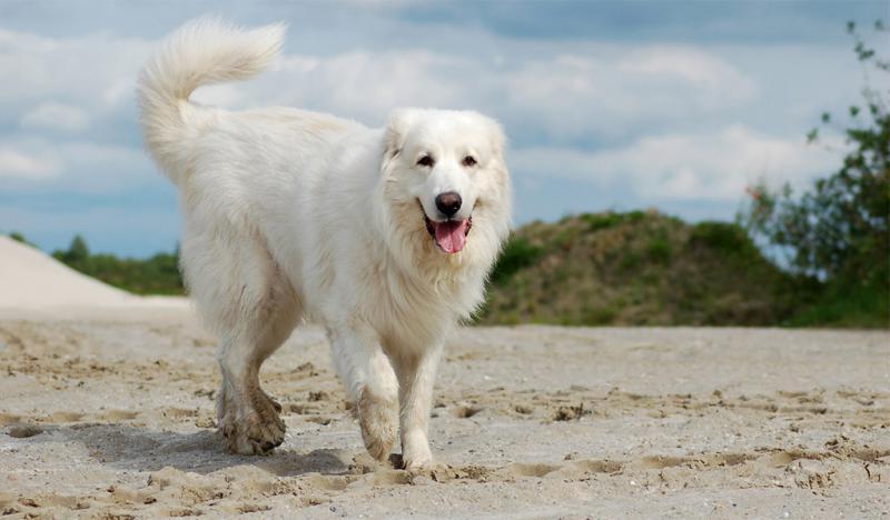 Фото собаки породы Пиренейская горная собака