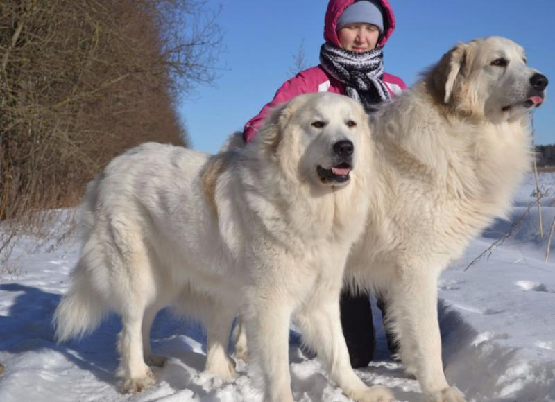 Фотография собак породы Пиренейская горная собака (Большая пиренейская овчарка)