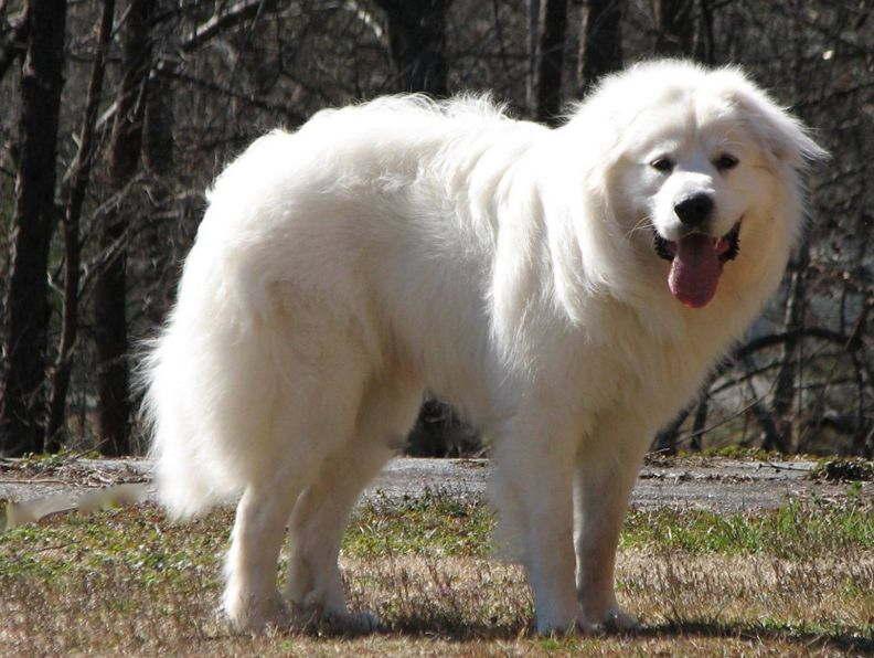 Внешний вид собаки породы Пиренейская горная собака