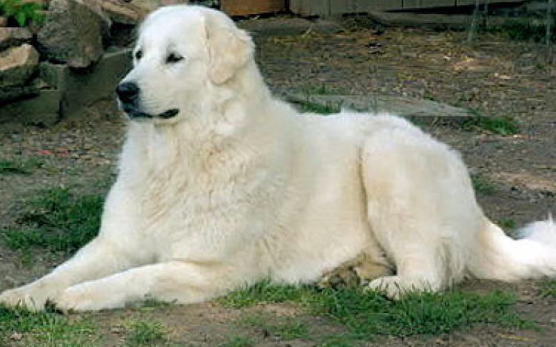 Внешний вид собаки породы Пиренейская горная собака (Большая пиренейская овчарка)