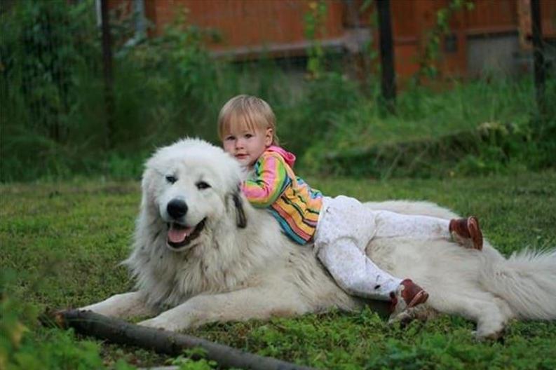 Пиренейская горная собака (Большая пиренейская овчарка) с ребенком