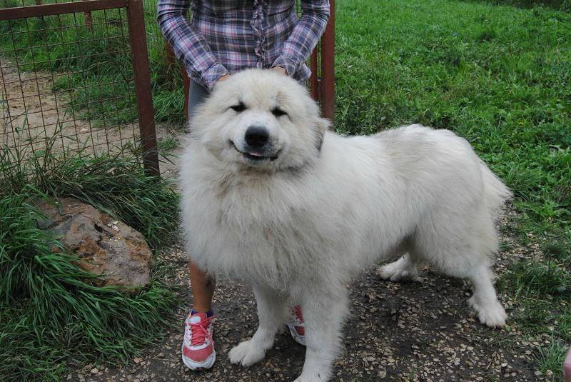 Фото Пиренейская горная собака с человеком