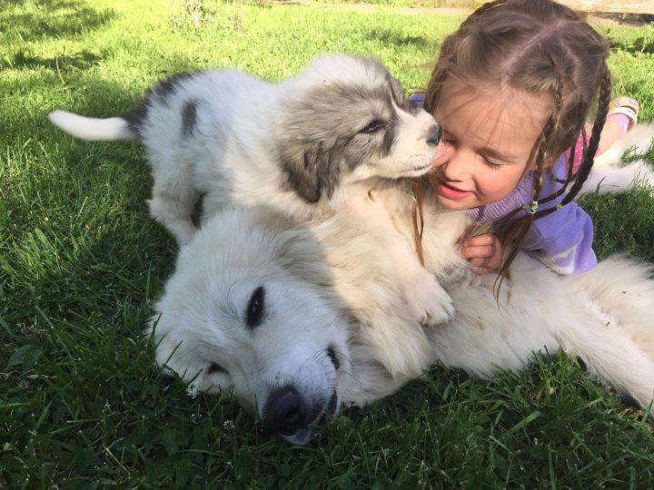 Пиренейская горная собака с ребенком
