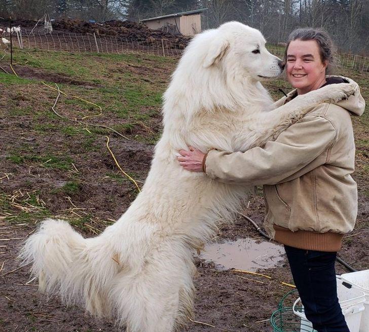Фотография собаки породы Пиренейская горная собака (Большая пиренейская овчарка) с человеком