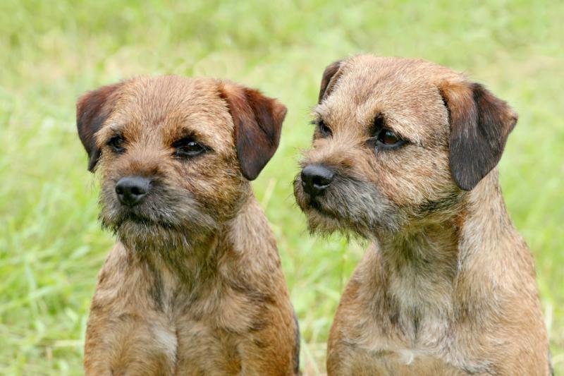Собаки породы Бордер-терьер