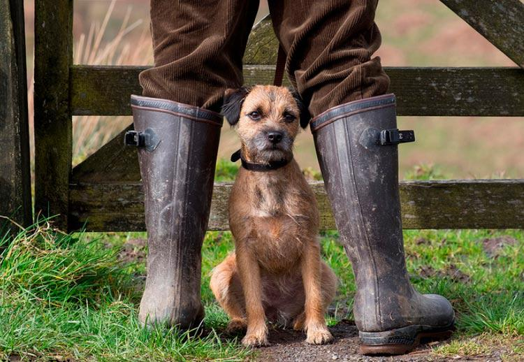 Фото породы собаки Бордер-терьер