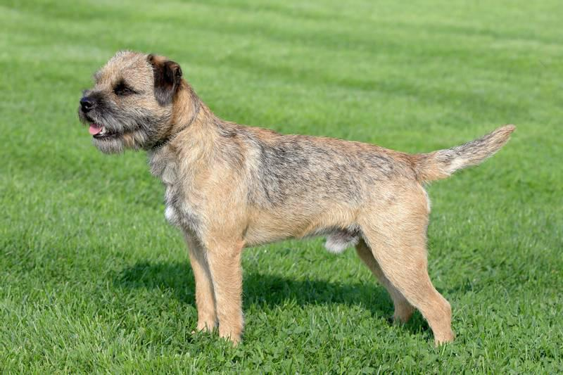 Стойка собаки породы Бордер-терьер