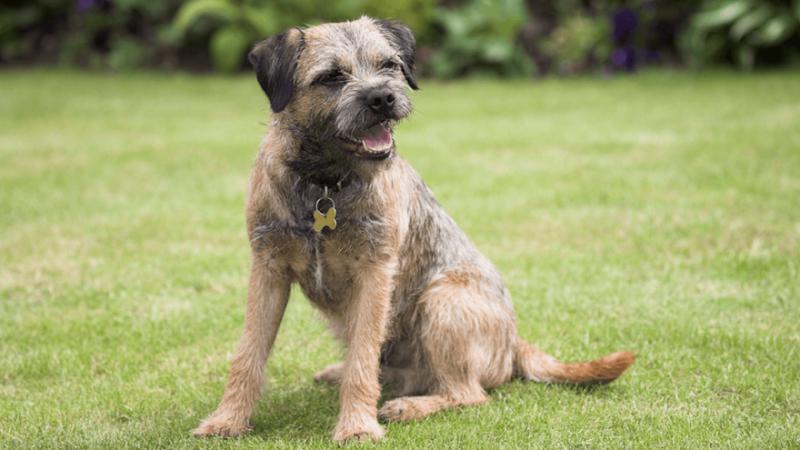 Внешний вид собаки породы Бордер-терьер