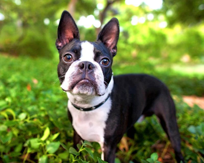 Фото собаки породы Бостон-терьер