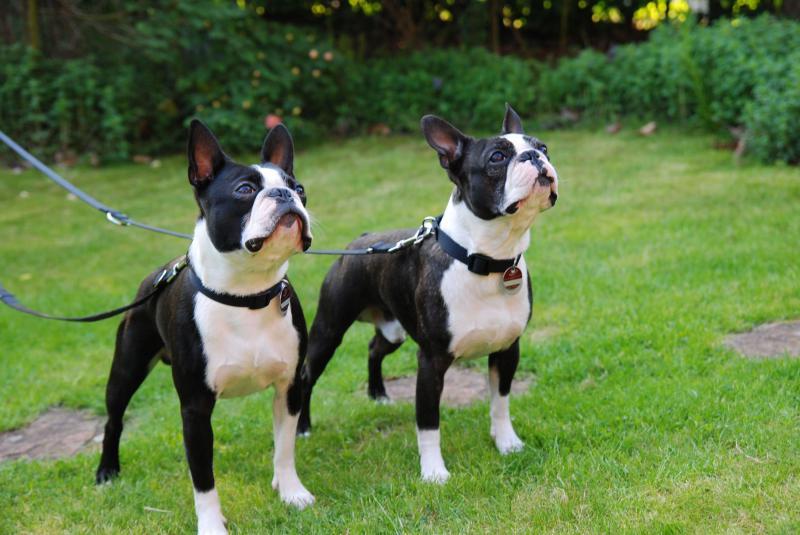 Фотография двух собак породы Бостон-терьер