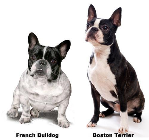 Фотография французского бульдога и Бостон-терьера