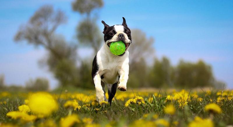 Бостон-терьер с мячом
