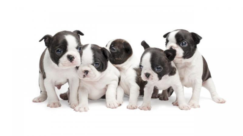 Фотография маленьких щенков породы Бостон-терьер