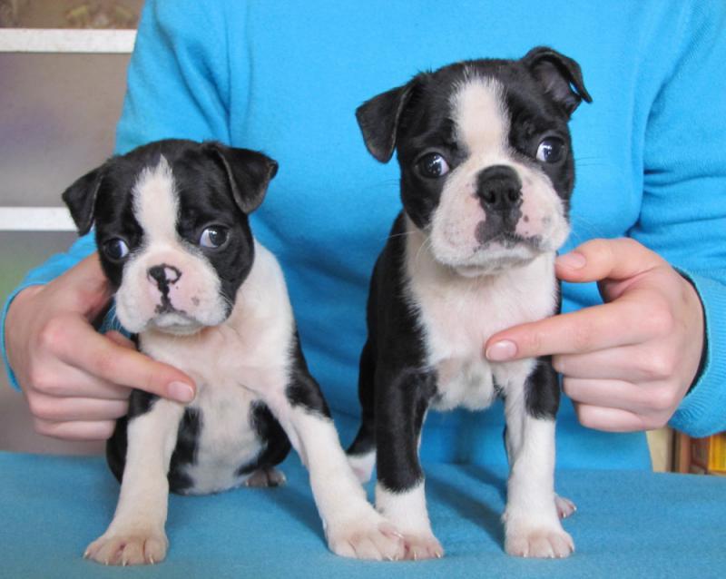 Два щенка породы Бостон-терьер
