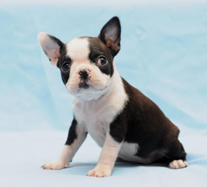 Маленький щенок породы Бостон-терьер