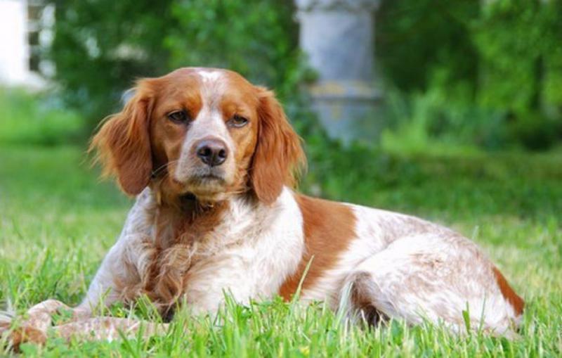Фото собаки породы Бретонский эпаньоль