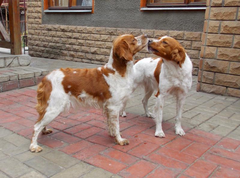 Фотография двух собак породы Бретонский эпаньоль