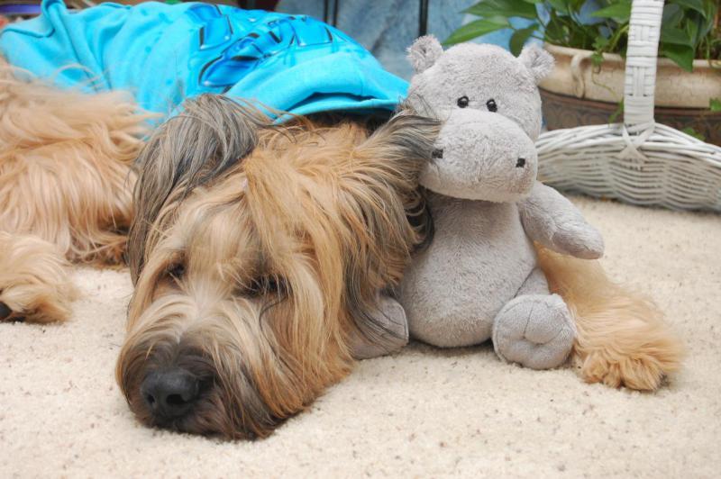 Собака породы Бриар с игрушечным бегемотом