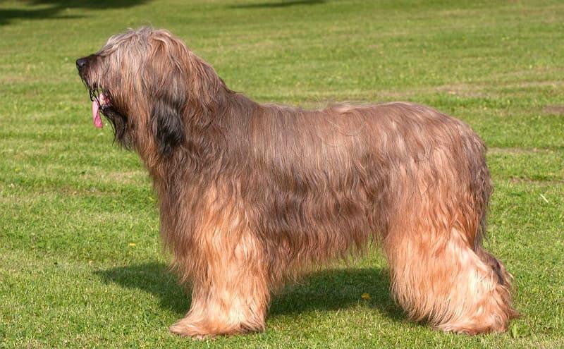Бриар - внешний вид собаки